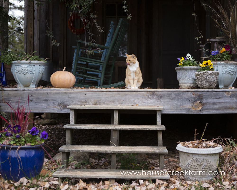 orange-farm-cat-on-rustic-porch-with-fall-leaves-and-container-plants-photo-by-chris-fowler-3563color.jpg