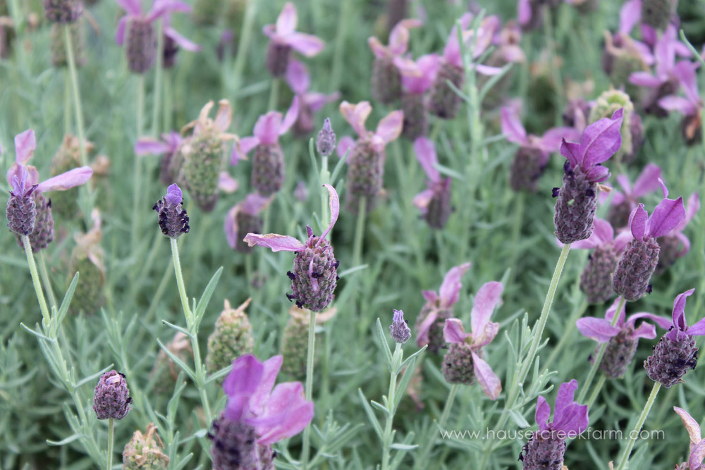spanish-lavender-growing-in-field-at-hauser-creek-farm-spring-2015-melody-watson-photo-1662.jpg