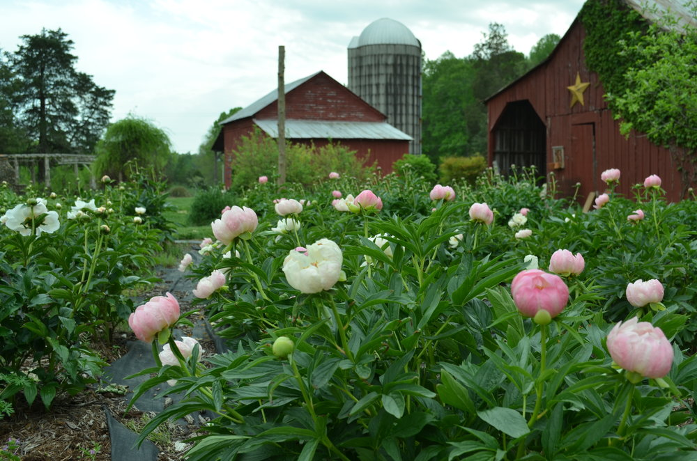 Peonies at Hauser Creek Farm