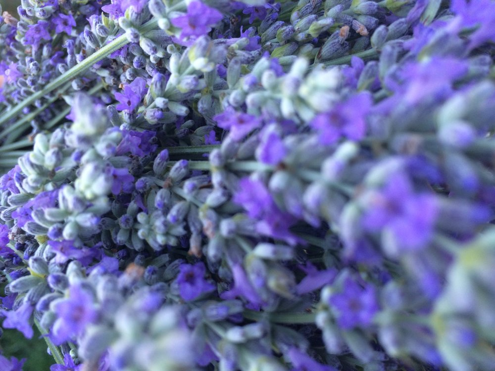 Provence lavender at Hauser Creek Farm