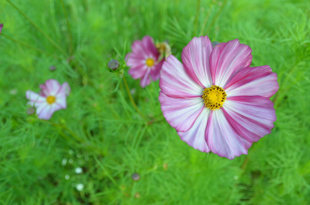 Cosmos at Hauser Creek Farm