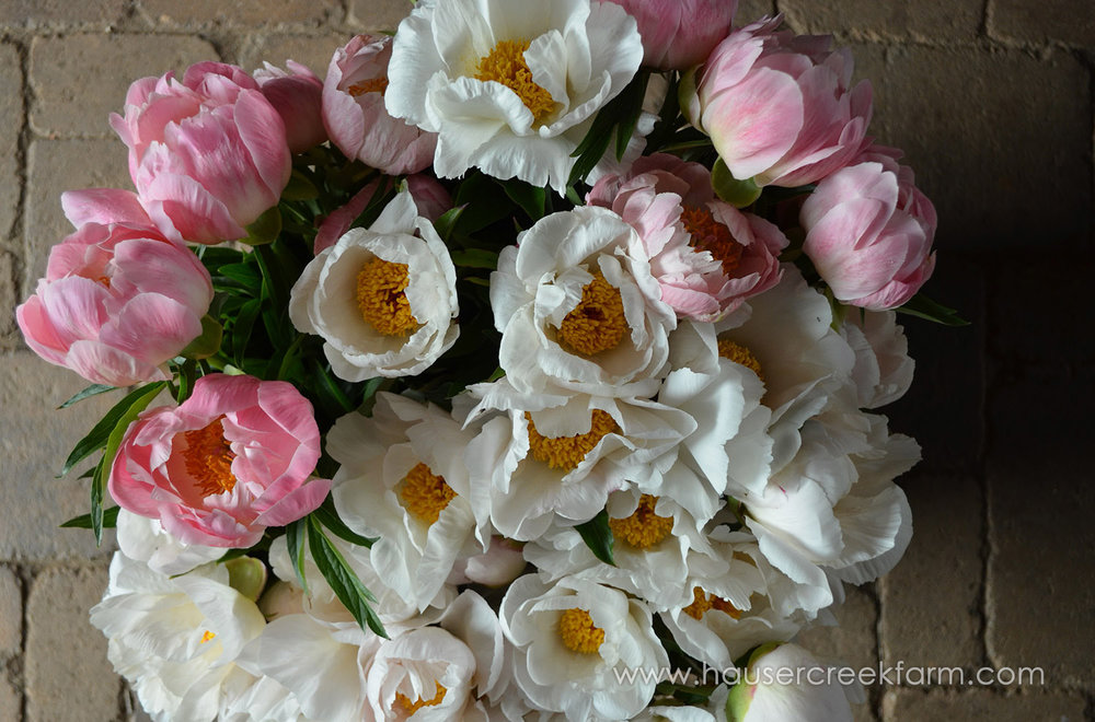 bucket-of-peonies-at-hauser-creek-farm-on-earth-day-2017-037.jpg