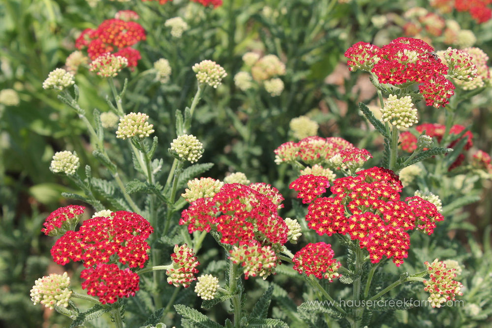 yarrow-in-field-at-hauser-creek-farm-spring-open-farm-day-melody-watson-photo-1540.jpg