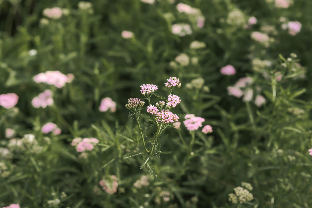 Yarrow at Hauser Creek Farm
