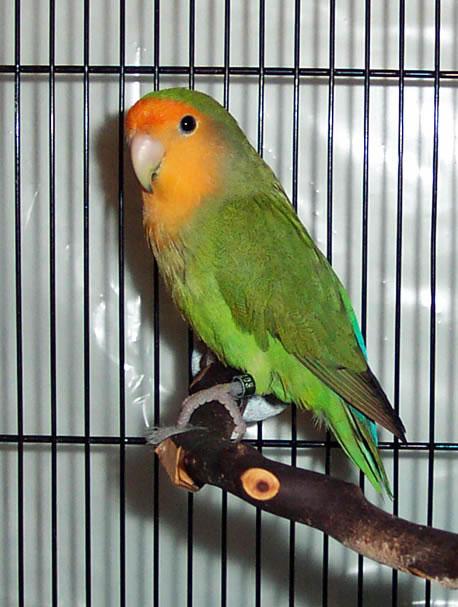 orangefaced_green2_JM_JPG.jpg
