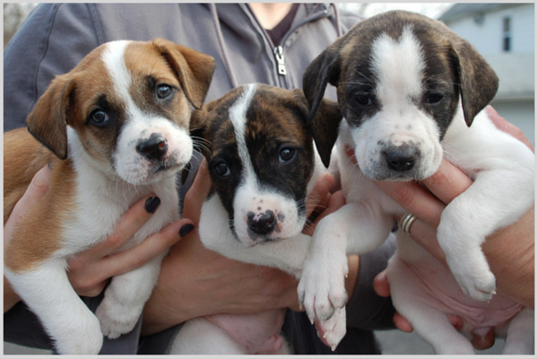 Rescued pit bull puppies