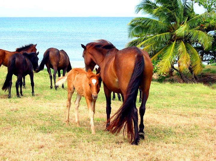 Wild horses graze on grass as the wind ruffles their mane.