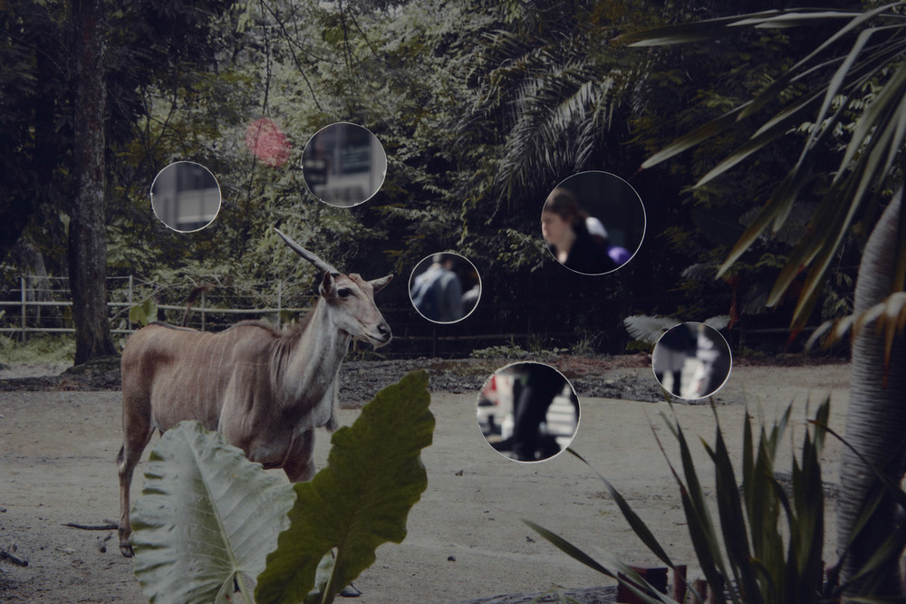 Self Reflection (Goat)