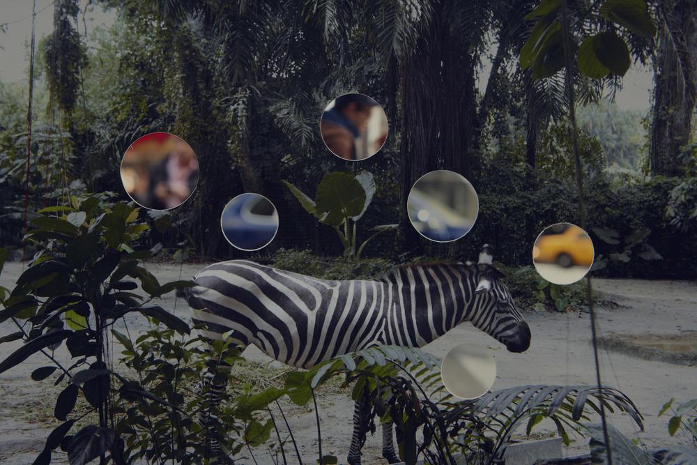 Self Reflection (Zebra)