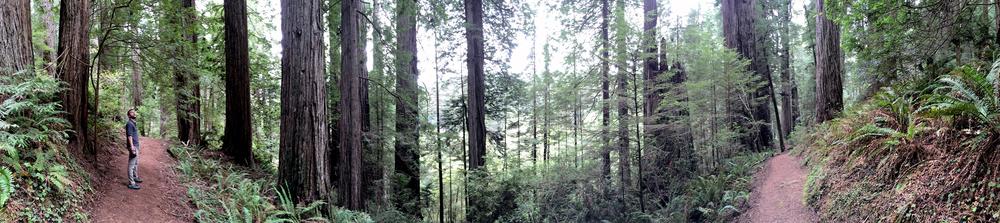 Redwoods-2-b.jpg