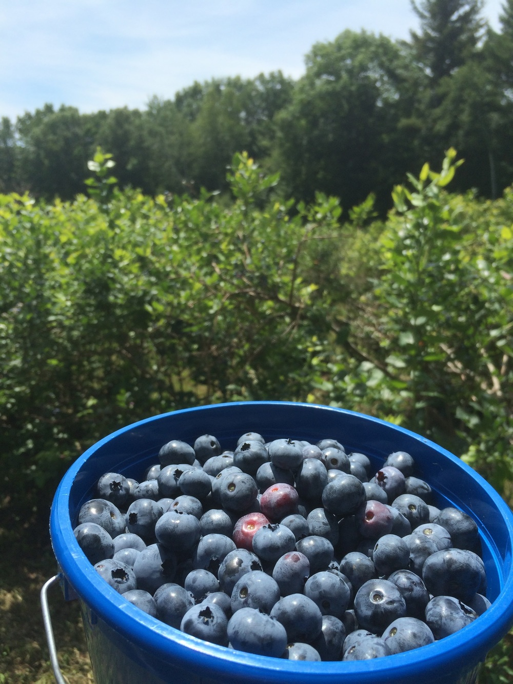 Come to Avaloch for the music, stay for the blueberries