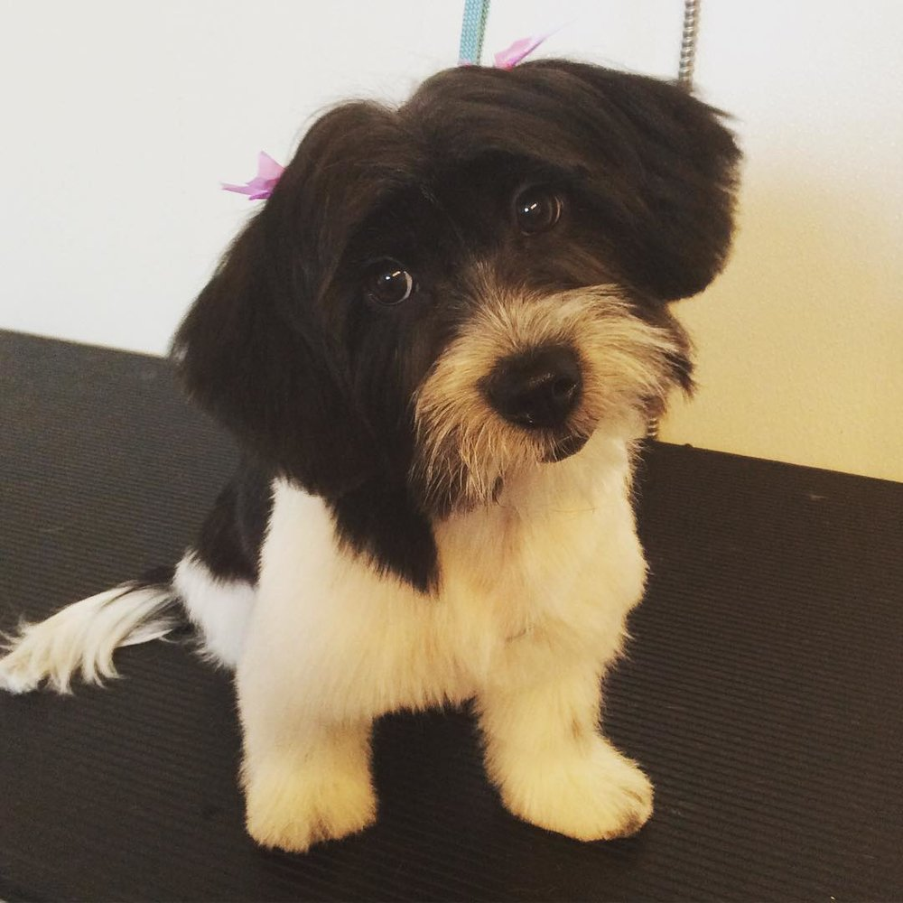 Gracie is the newest graduate of our Puppy Groom Package, and was a star for her first full body haircut!