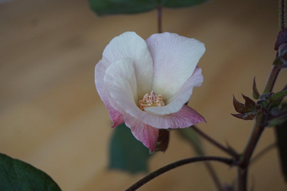 M Oppi Cotton Diary flower.JPG