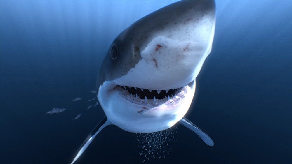 Great White Sharks 360