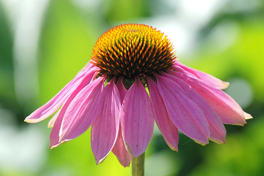 Echinacea purpura