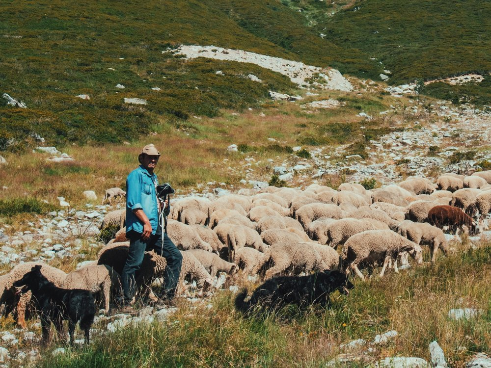 Shepherd & His Sheep