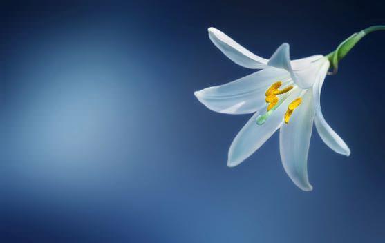 flower-lily-lilium-candidum-madonna-lily_mini.jpg
