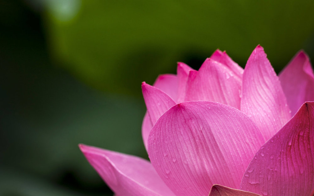 lotus-pink-nature-flowers-39315 copy.jpg