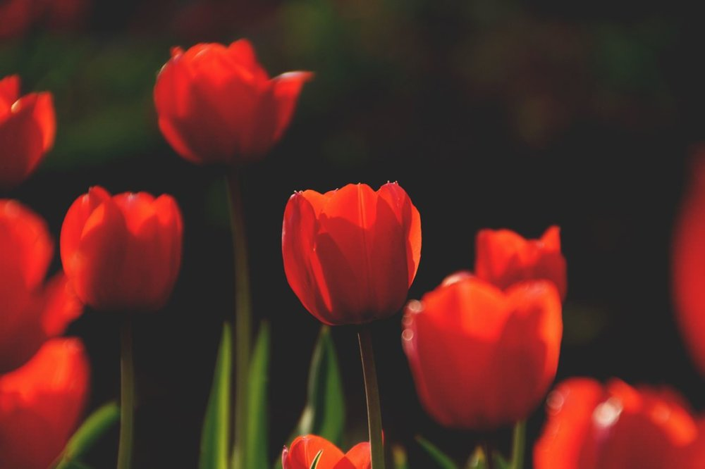 Red Tulips copy 2.jpeg
