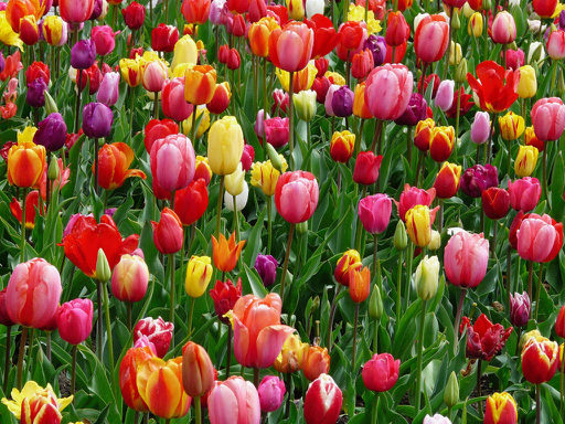 tulips-bed-colorful-color-69776.jpg