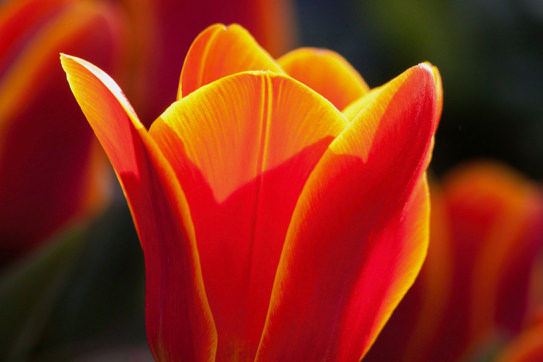 tulip-lily-nature-flowers-57429.jpg