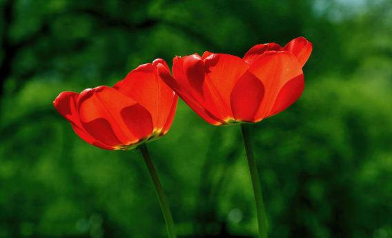 spring-tulip-flower-nature.jpg