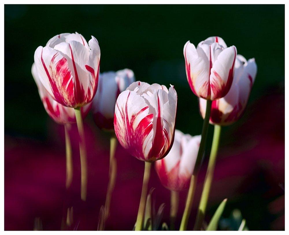 tulips-garden-flowers-color-69465.jpeg