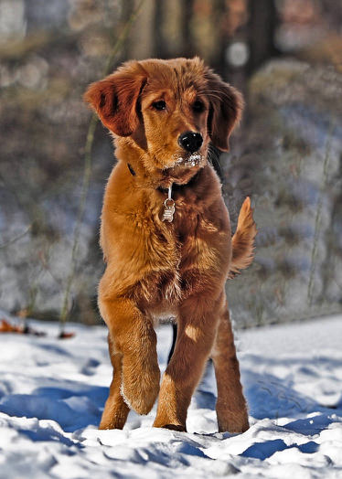 Golden Retriever Snow - Small.jpg