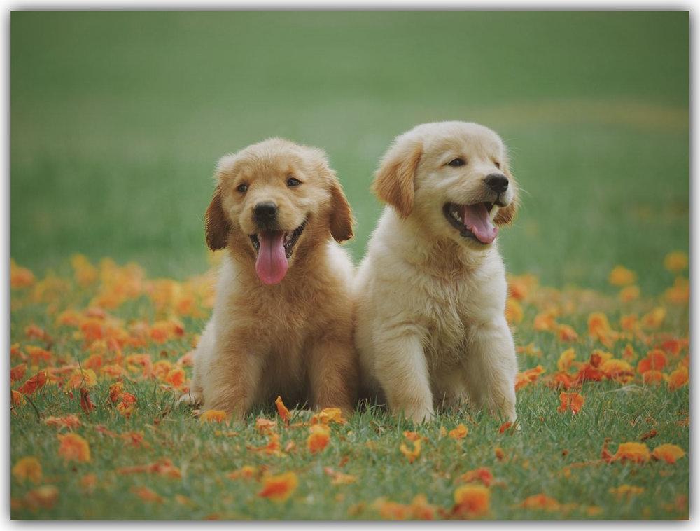 Golden Retriever pups - frame.jpg