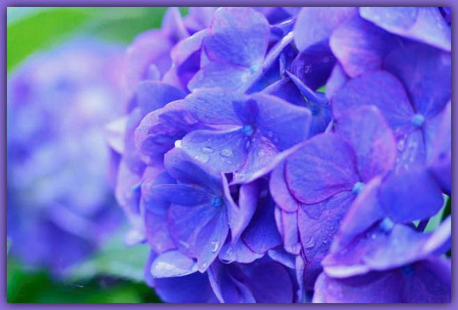 Hydrangea Blue-Purple - frame.jpg