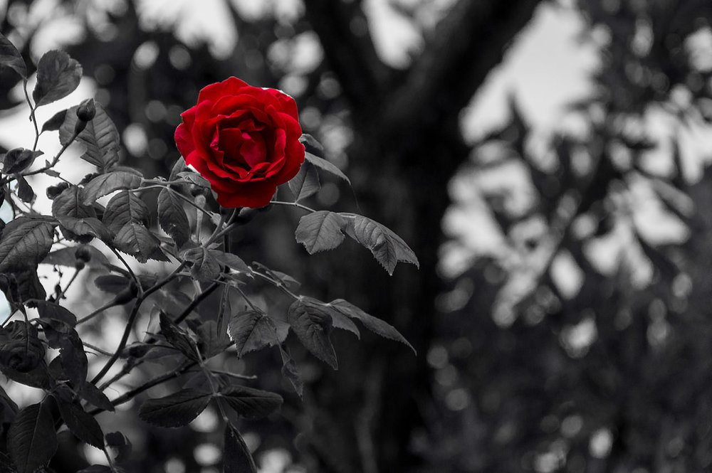 Red Rose - B&W background.jpg