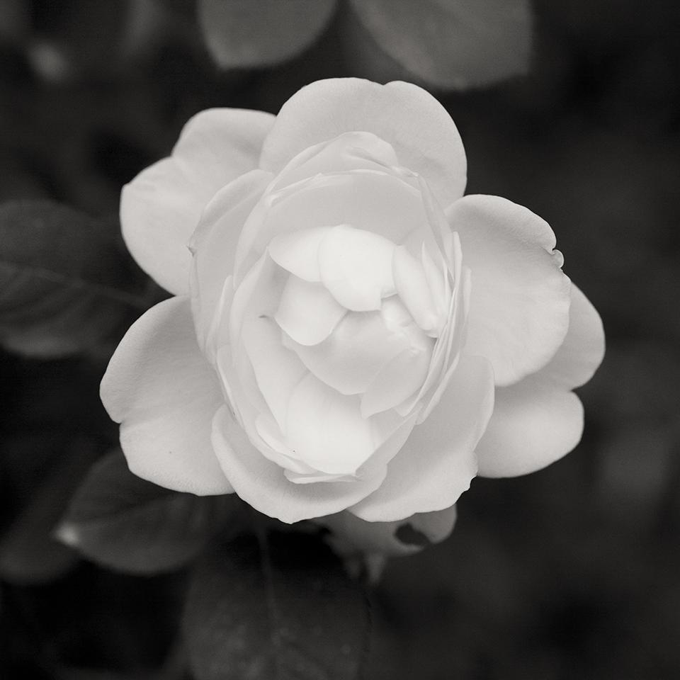 Rose opening BW