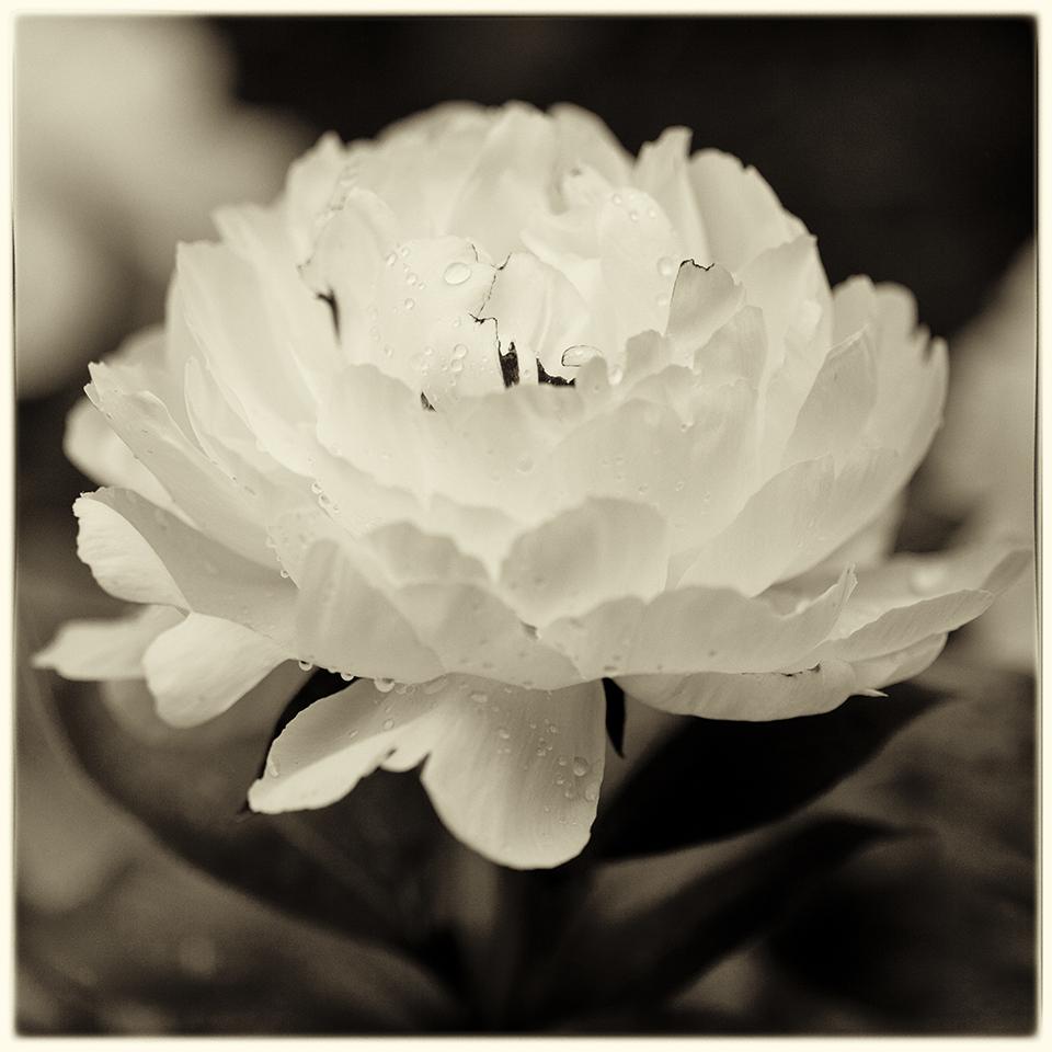 Peony Bloom BW