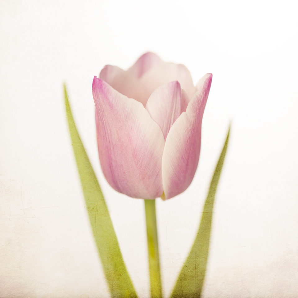 Pink Happy Tulip