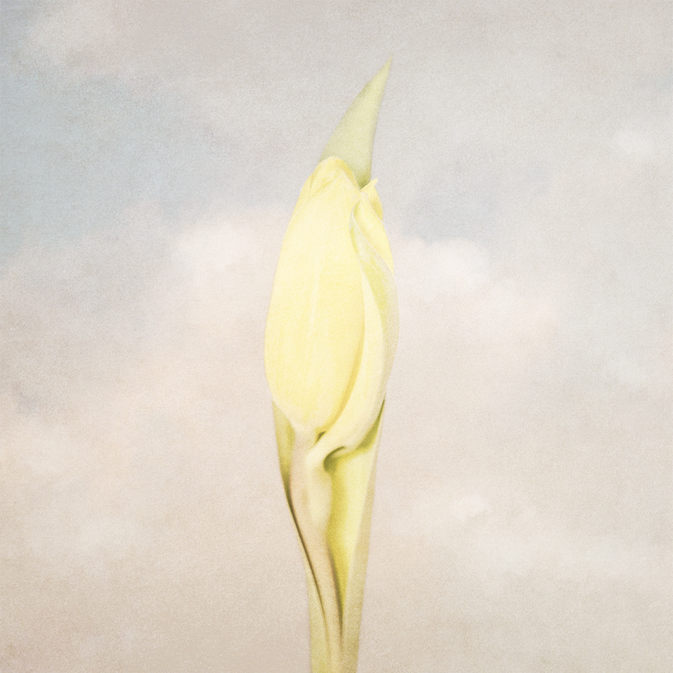 Tulip bud in sky