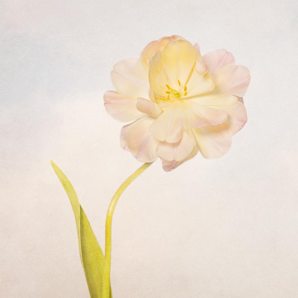 Tilted tulip 2