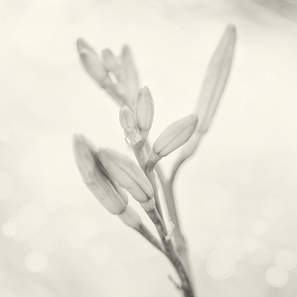 Lily pre bloom BW