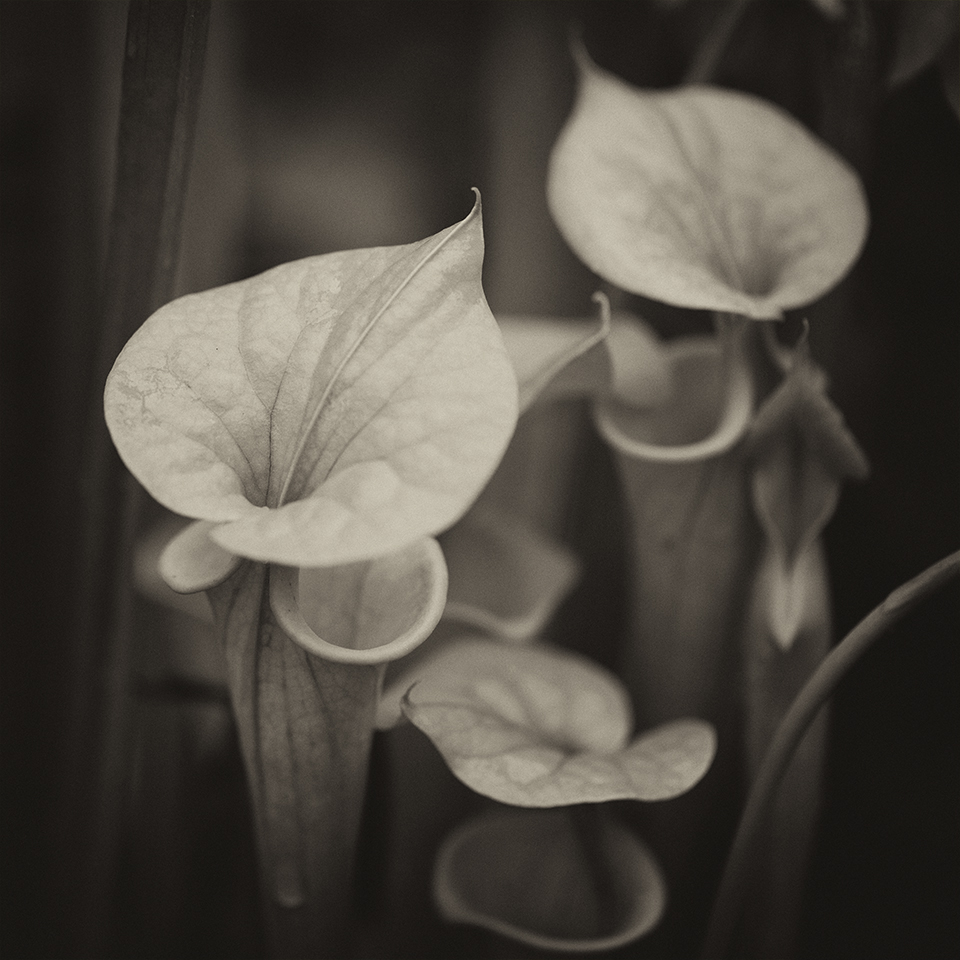 Pitcher plants BW