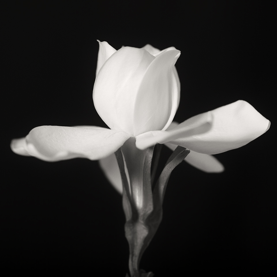 Gardenia dance BW