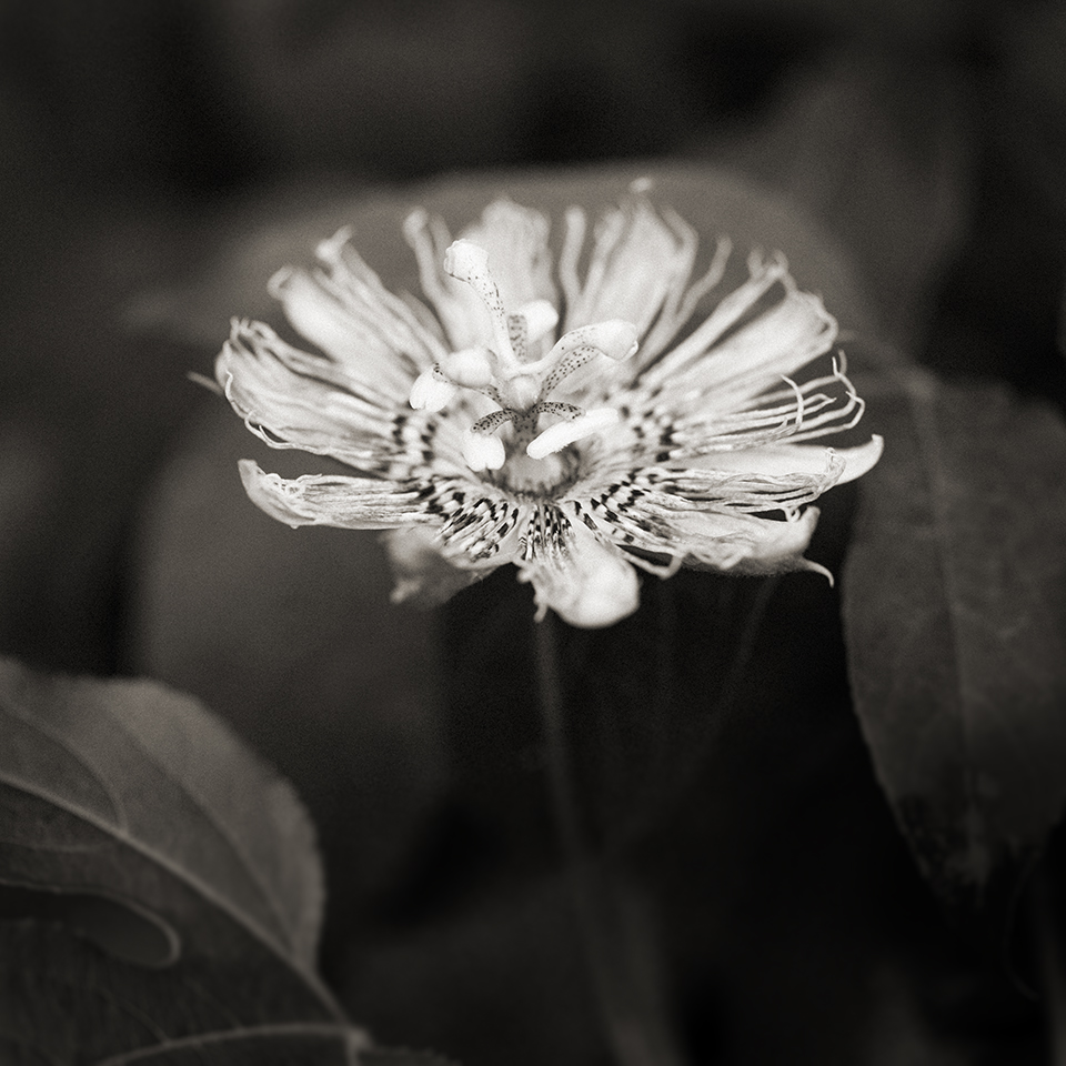 Passion flower BW