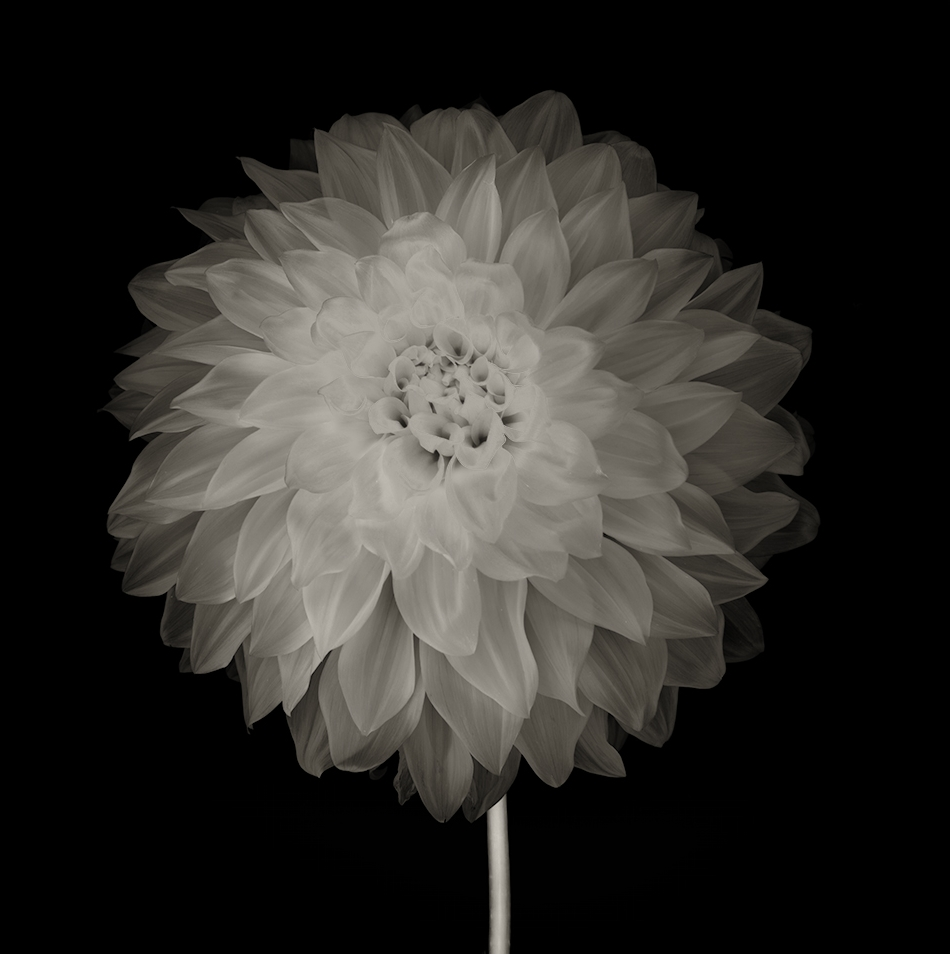 Dahlia transparency BW