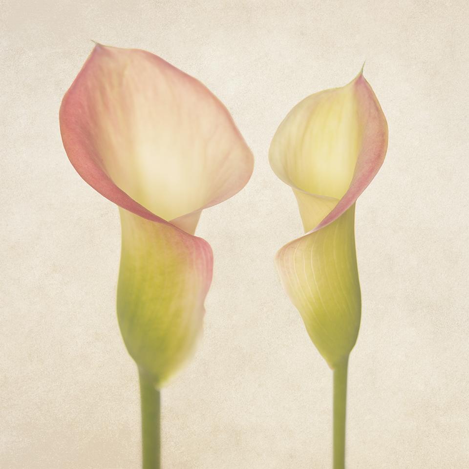 Two Calla Lilies.jpg