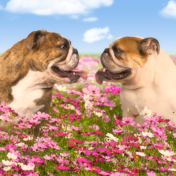 Two dogs in flower field.png