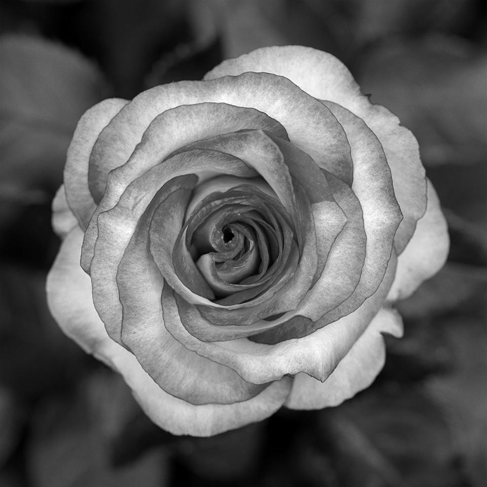 Rose primo.jpg