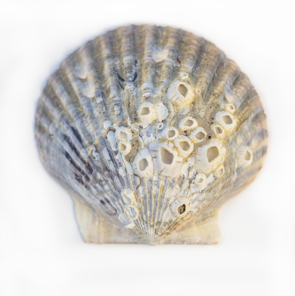 Old Scallop Shell