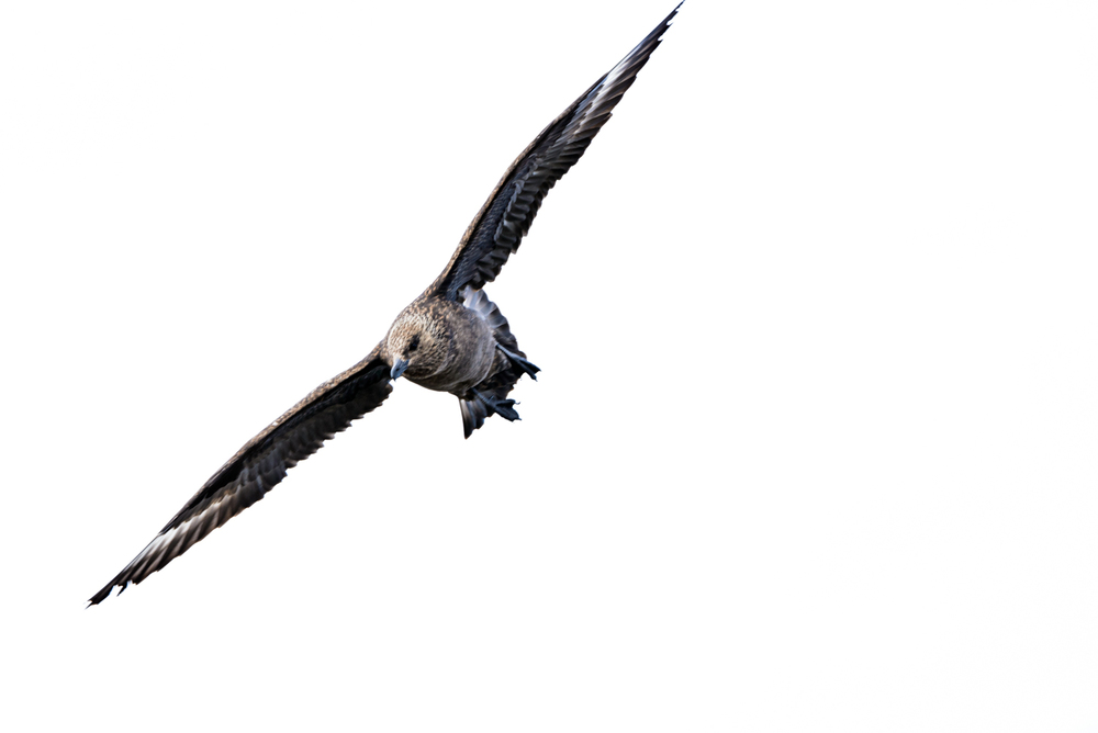 Great Skua in Flght