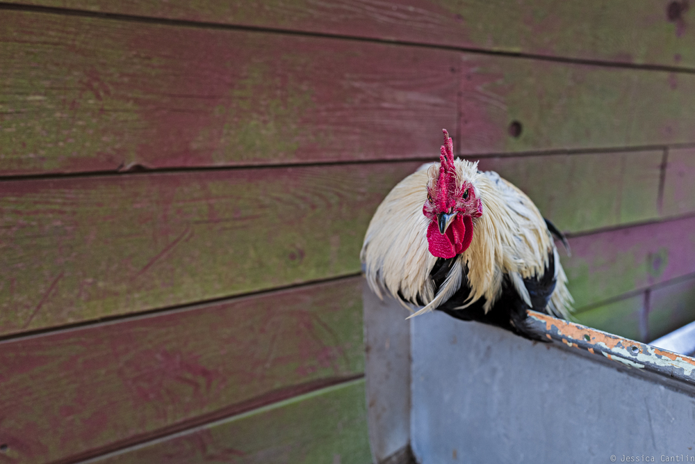 Ritchie the Rooster.