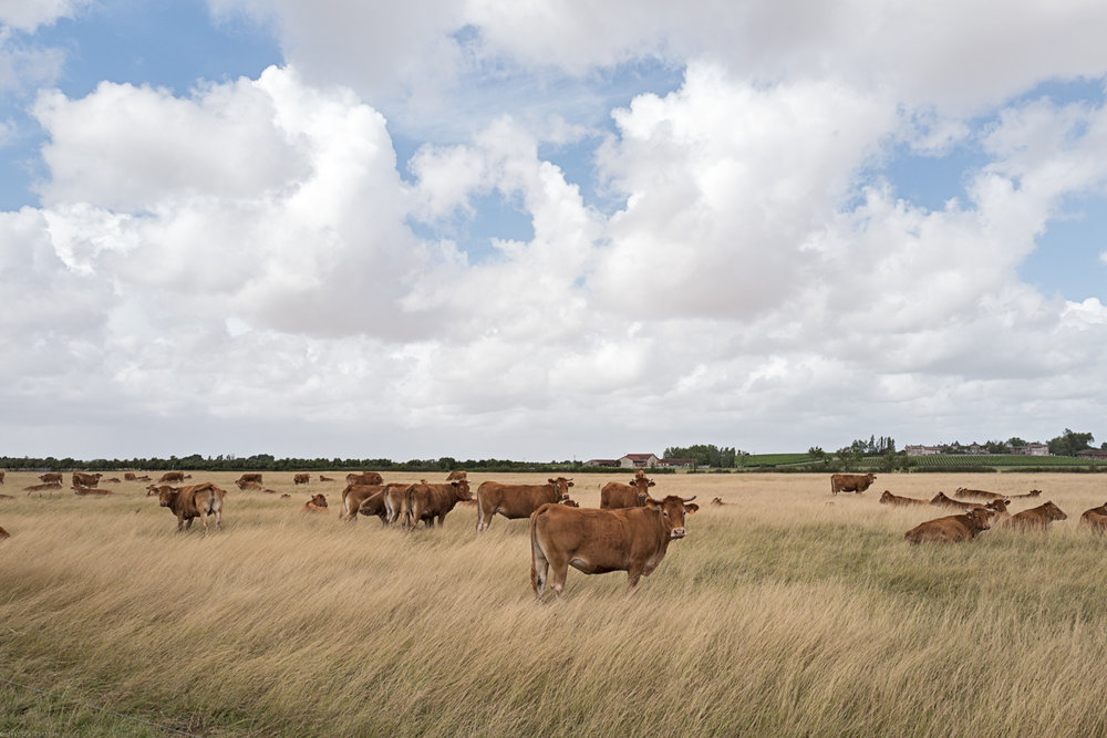 Cattle in Medóc
