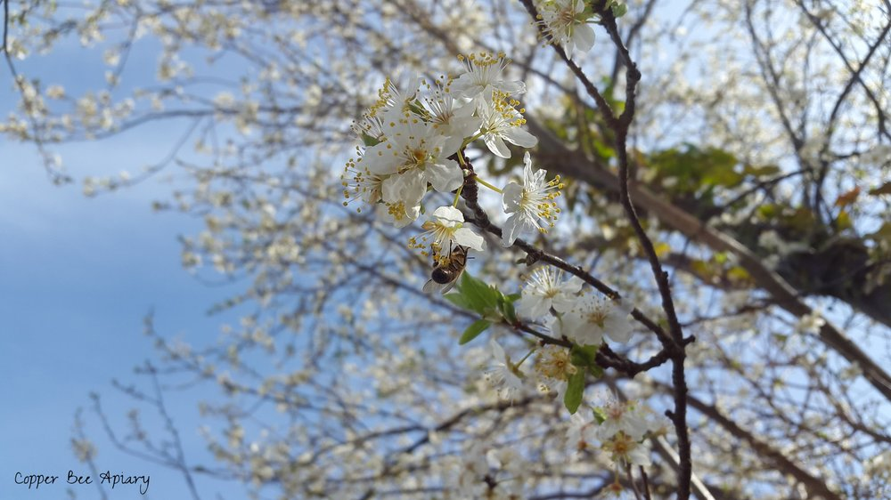 Forager on blackthorn