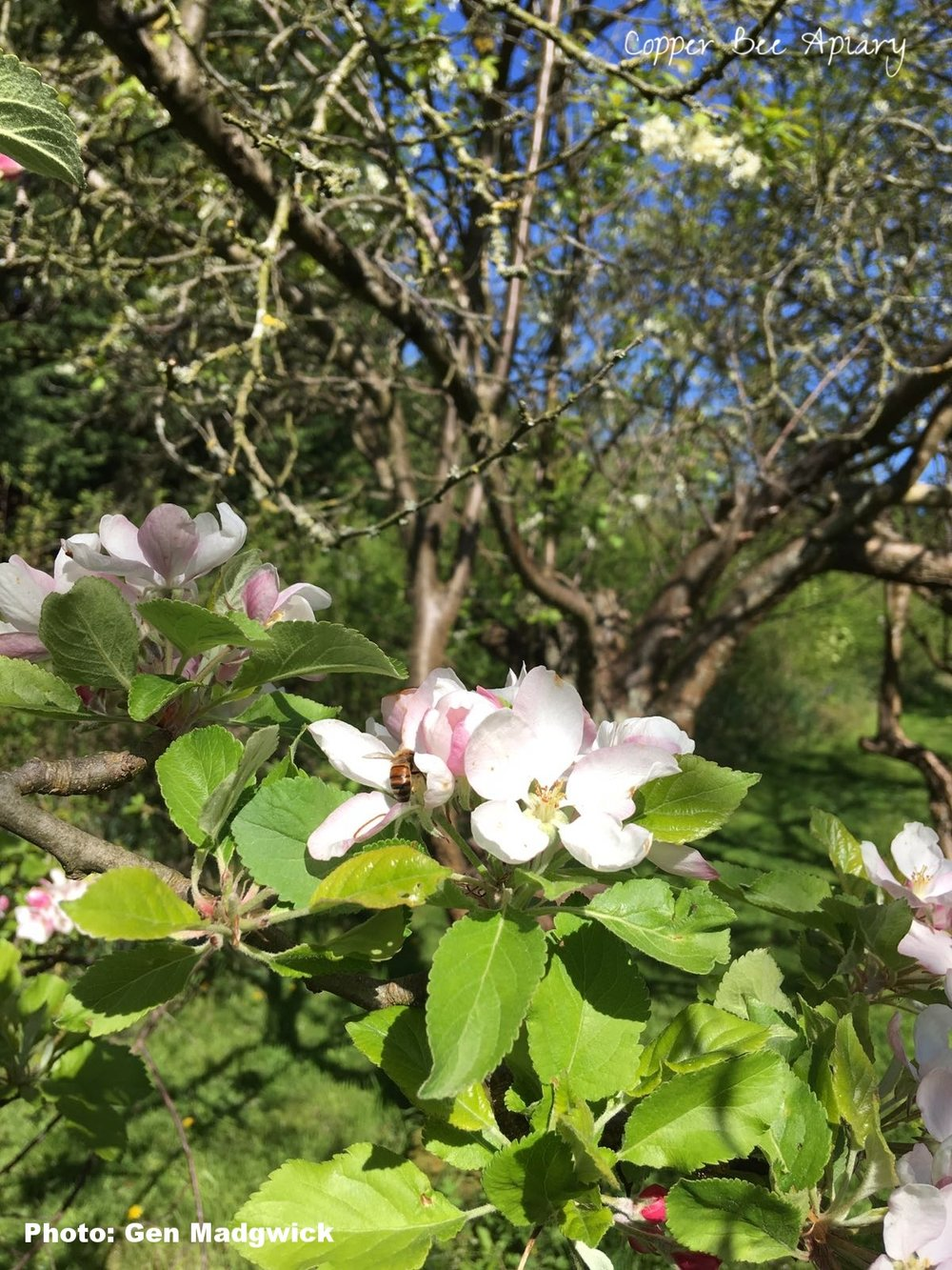 Forager on apple blossom